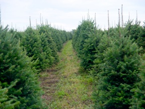 growing and caring for christmas trees involves a year round commitment of many years it involves a whole lot more than just digging a hole and planting a
